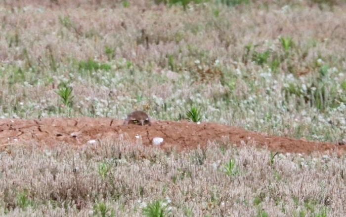 Burrowing Owl (4)1024x645] 01