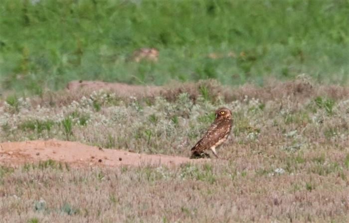 Burrowing Owl (5)1024x654] 02