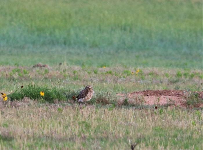 Burrowing Owl (7)1024x755] 03