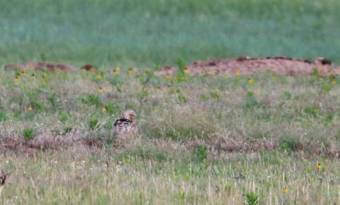 Burrowing Owl (9)1024x620] 04